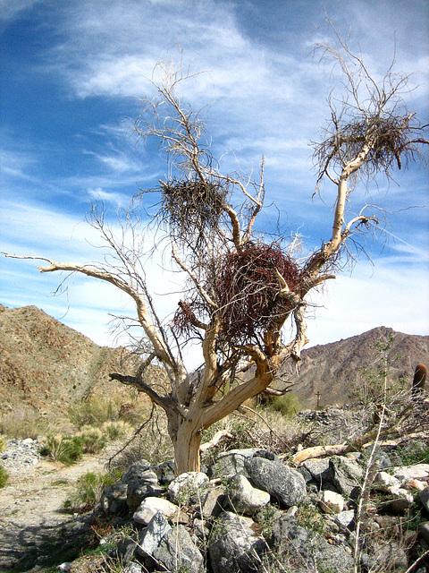 Boyd Deep Canyon (9275)
