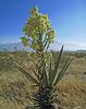 Yucca (0498)