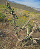 Rejuvenating Cholla (0506)