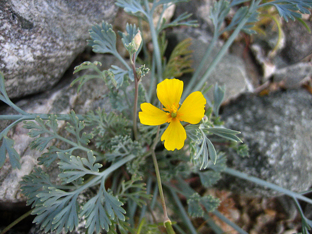 Boyd Deep Canyon Desert Poppy (9270)