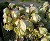 Yucca Blooms (0548)