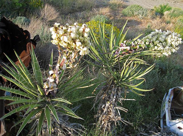 Yuccas (0547)