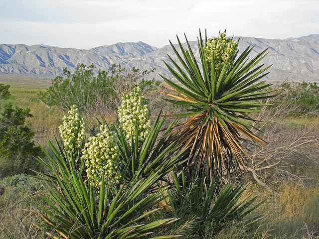 Yuccas (0549)