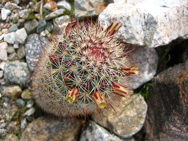 Boyd Deep Canyon Fishhook Mammillaria Cactus (9283)