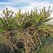 Yuccas (0550)