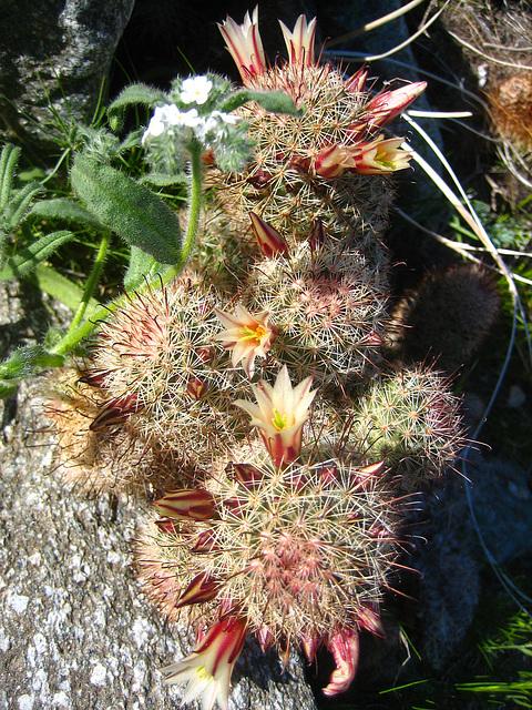 Boyd Deep Canyon Fishhook Mammillaria Cactus (9334)