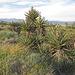 Yuccas (0553)