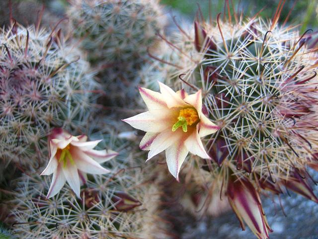 Boyd Deep Canyon Fishhook Mammillaria Cactus (9335)