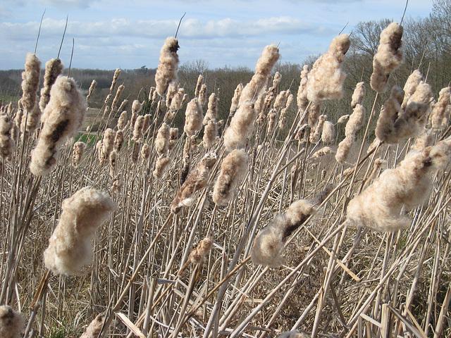 Roseaux dans leur laine d'hiver