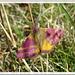 Lythria sp.