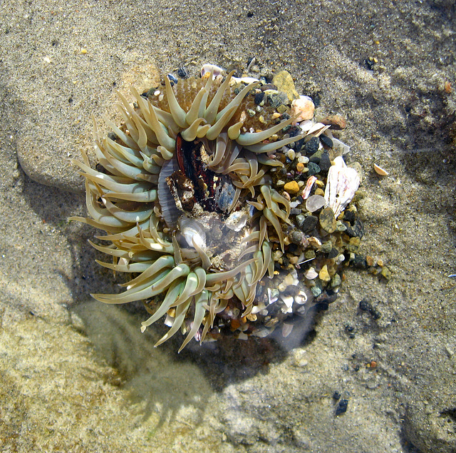 Sea Anemone (1354)