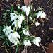 Printempaj heroldoj 5  Herolde des Frühlings