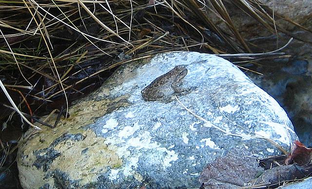 Tiger Creek Frog (9099)