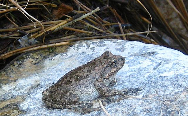 Tiger Creek Frog (9101)