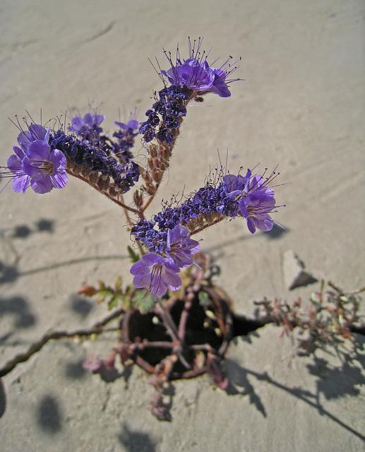 Desert Flower (0449)