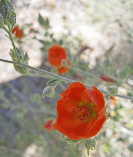 Desert Mallow (0441)