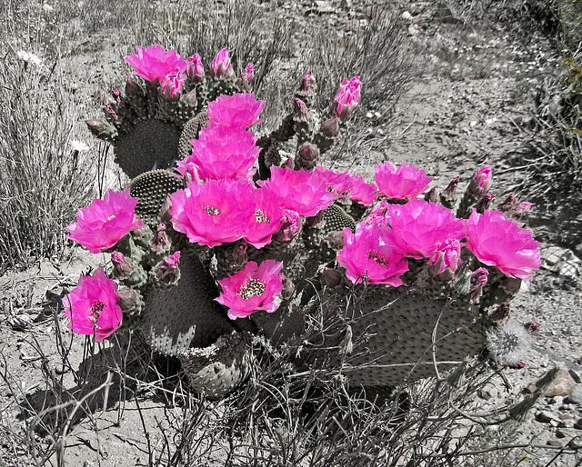Flowering Cactus (0419A)