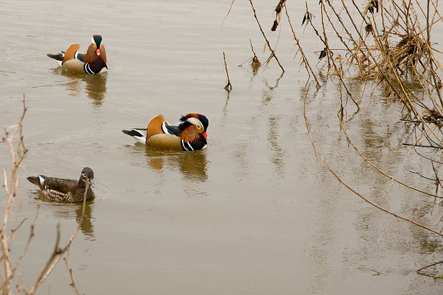Balz der Mandarinenten 1 - Courtship of Mandarin Ducks 1