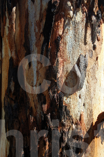 bark of the eucalyptus