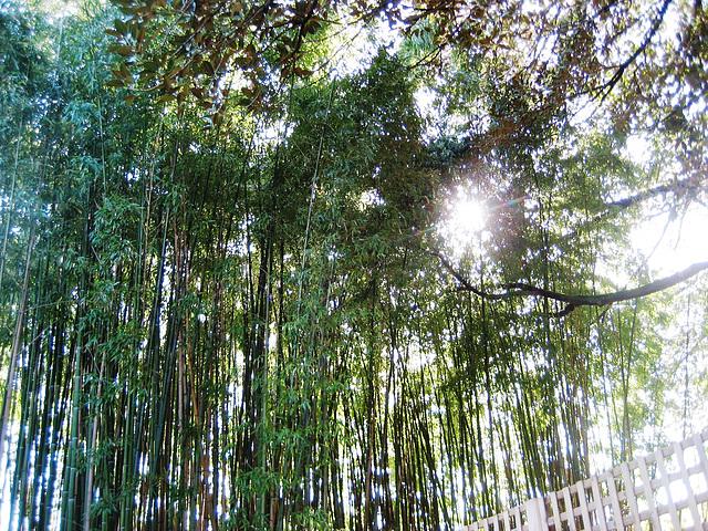 Coimbra, Quinta das Lágrimas, bamboo's garden (1)