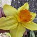 04 yellow daffodil
