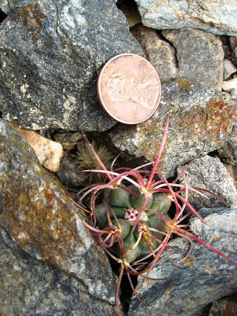 Baby Barrel Cactus (1452)