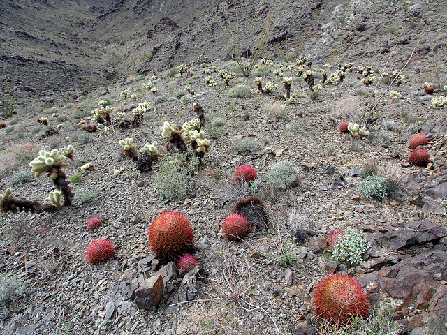 Cholla & Barrel Cactus (7122)