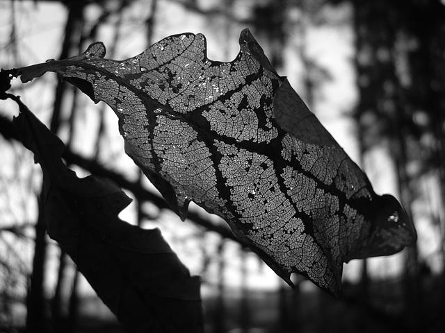 Eichenblatt am Waldrand