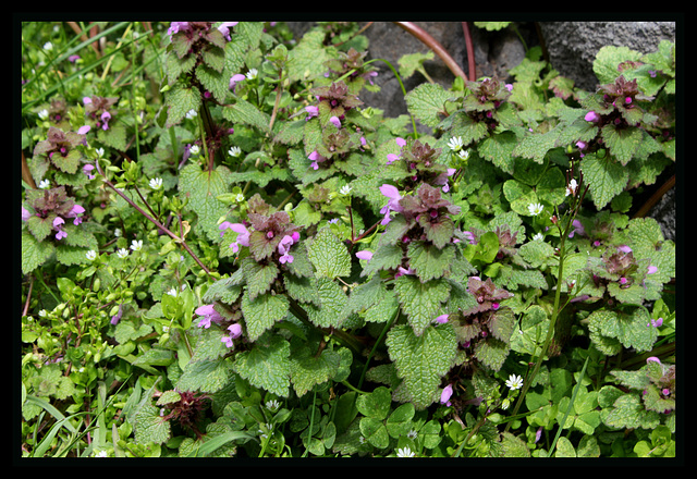 Lamium purpureum lamier pourpre au jardin forum de for Plante urticante