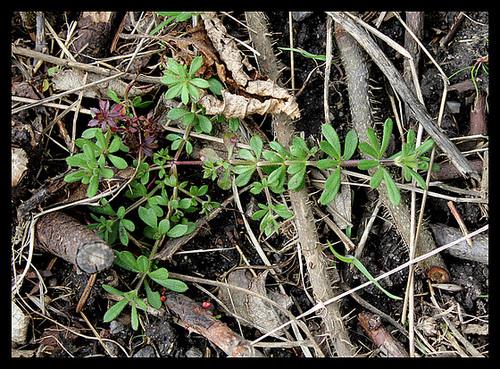 Galium aparine gaillet gratteron au jardin forum de for Portent feuilles