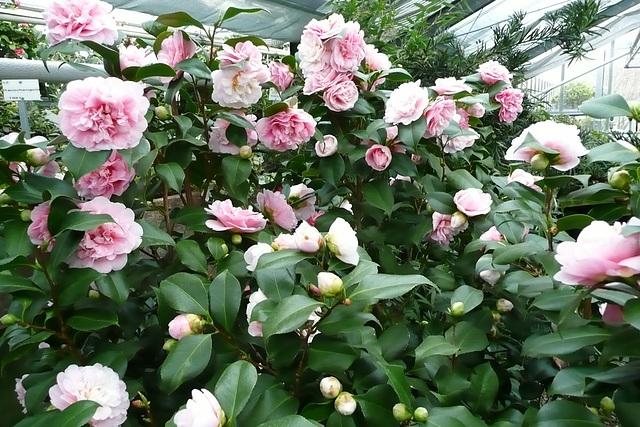 Kamelienblütenschau