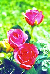 Karnavalo de ruĝaj rozoj