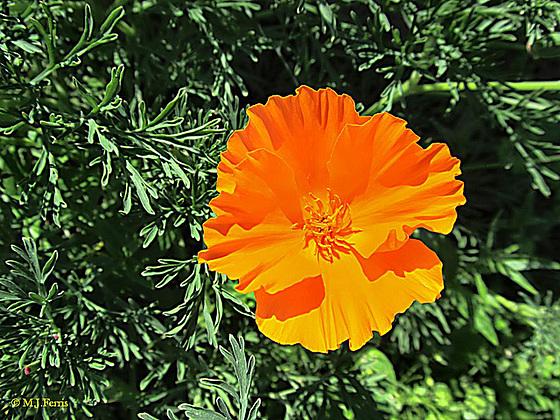 15 california poppy