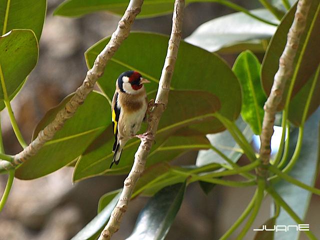 Jilguero  (carduelis carduelis parva)