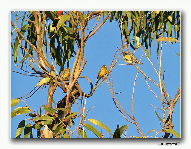 Canarios silvestres