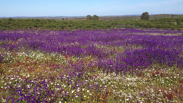 Alentejo florido em Abril - 1