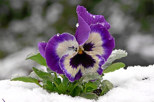 Stiefmütterchen im Schnee / pansy in snow