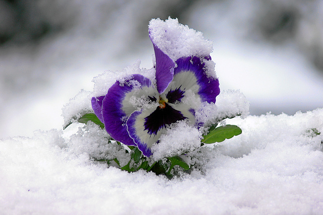 ipernity stiefm tterchen im schnee pansy in snow by. Black Bedroom Furniture Sets. Home Design Ideas