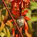 Mosquitero canario,- (Phylloscopus canariensis,)