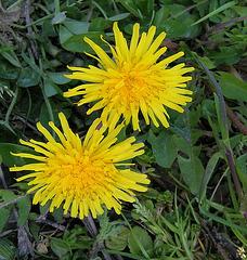 Fleurs de pissenlits.