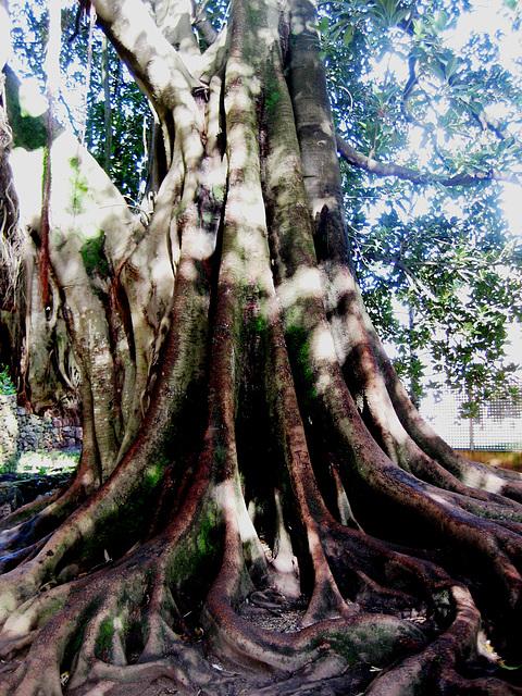 Coimbra, Quinta das Lágrimas, Australian banyan - ficus macrophylla - (2)