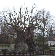very old lime tree / dicke Linde von Upstedt