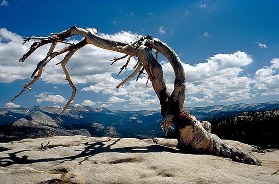 Jeffrey Pine on Sentinel Dome, Yosemite NP