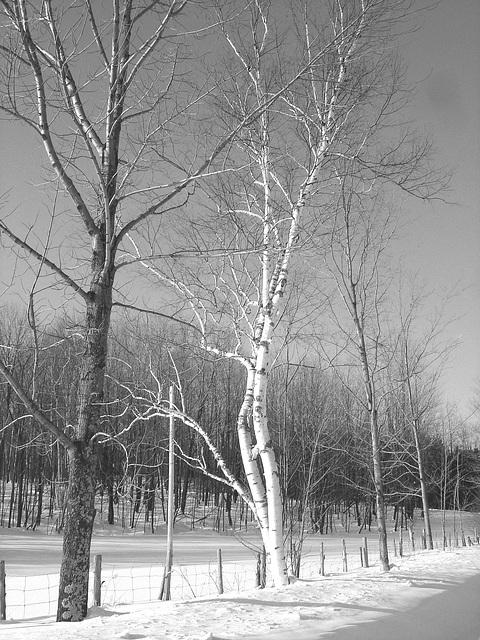 Paysage d'hiver du Québec / St-Benoit-du-lac.  Février 2009 -  B & W
