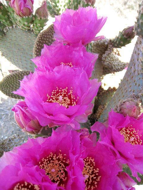 Cactus Flowers (0422)