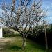 Serra de Montejunto, almond in bloom