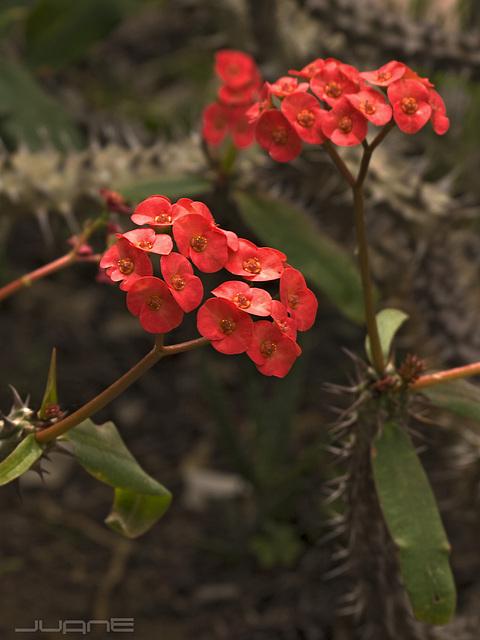 Euphorbia Milii. var Hislopii