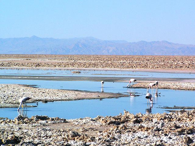 Salar d'Atacama (Flamans rose)
