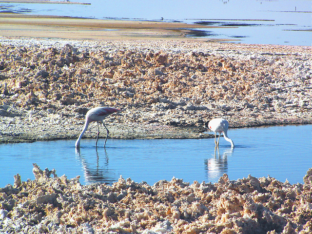 Salar d'Atacama (Flamans rose) 2