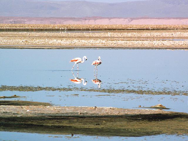 Salar d'Atacama (Flamans rose) 3